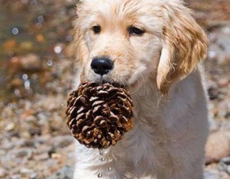 Golden Retriever holding a pinecone