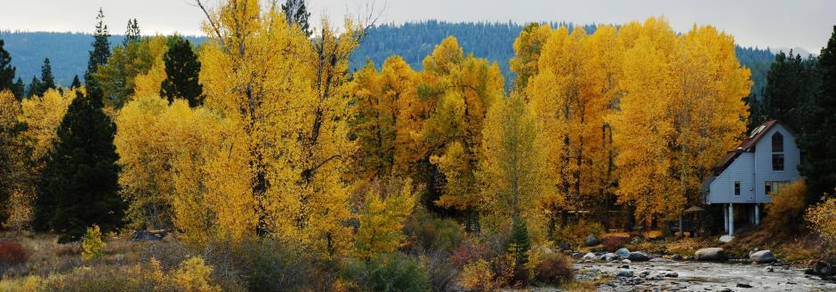 Aspen trees changing colors in Truckee, CA