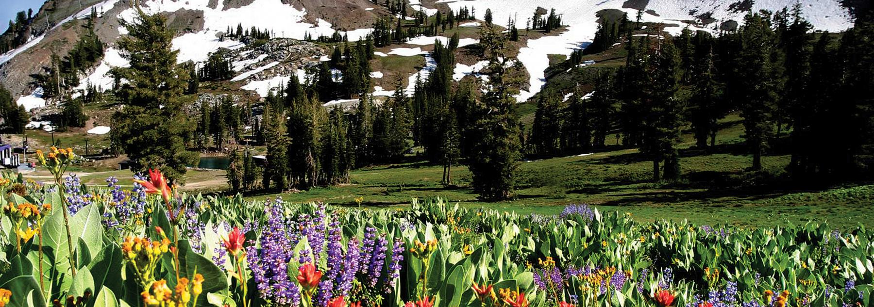 tahoe mountain flowers